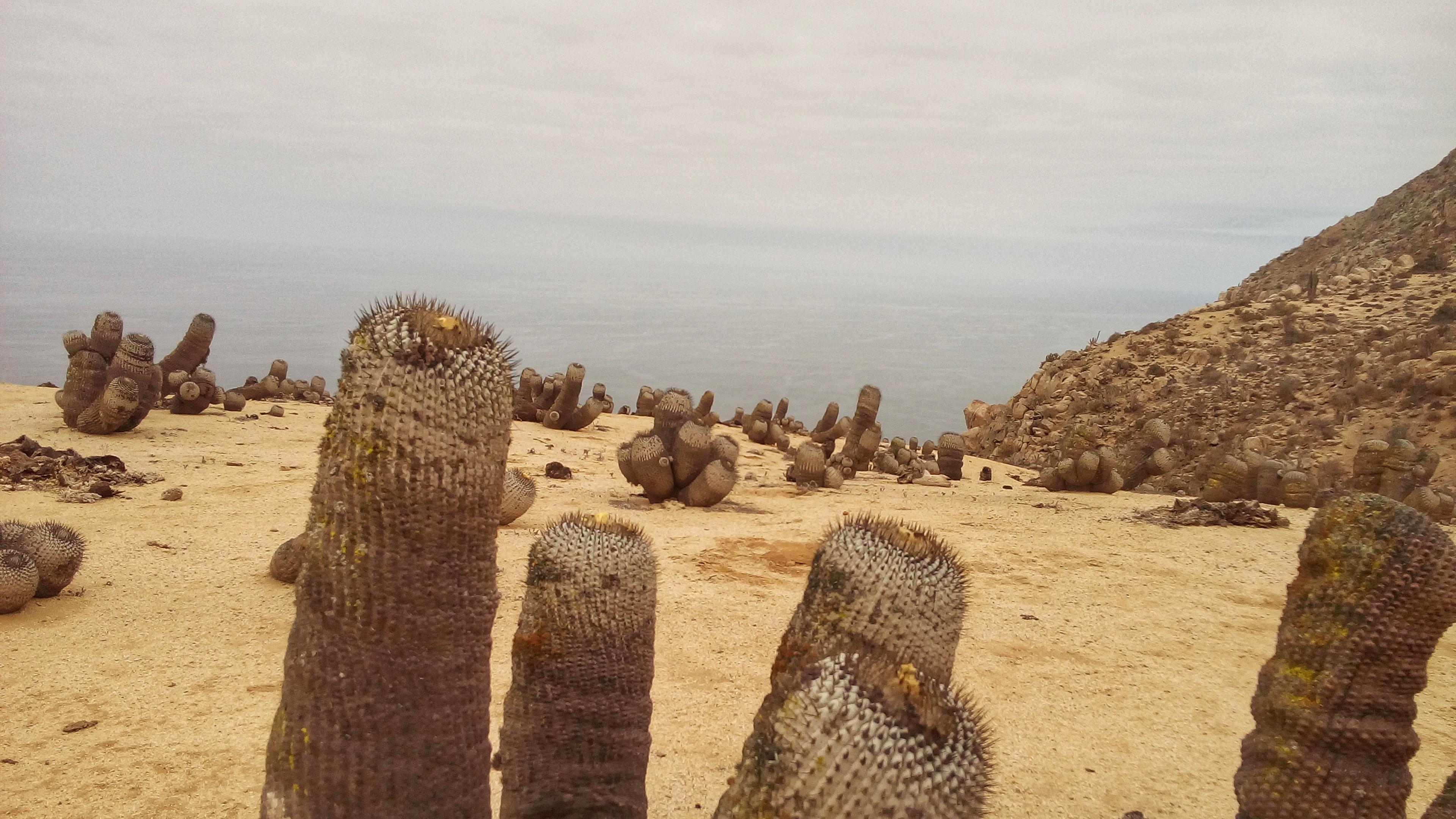 Champs de cactus Pan de Azucar, Chili